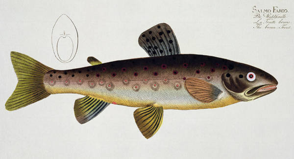 Angler Wall Art - Painting - Brown Trout by Andreas Ludwig Kruger
