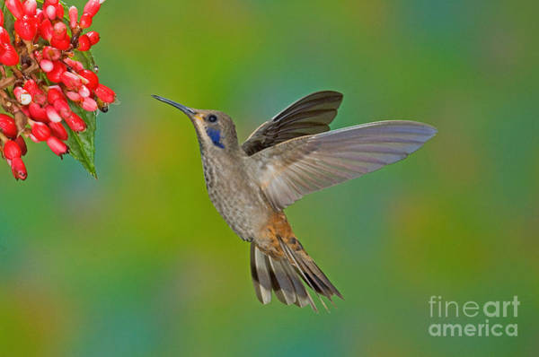 Colibri Photograph - Brown Violet-ear Hummingbird by Anthony Mercieca