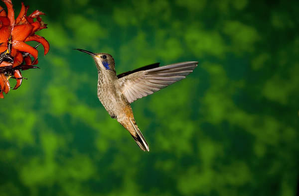 Colibri Photograph - Brown Violet-ear Hummingbird Feeding by Tom Vezo