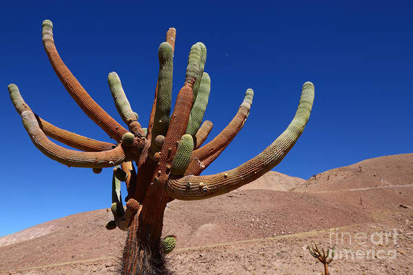 Photograph - Browningia Candelaris Cactus Chile by James Brunker