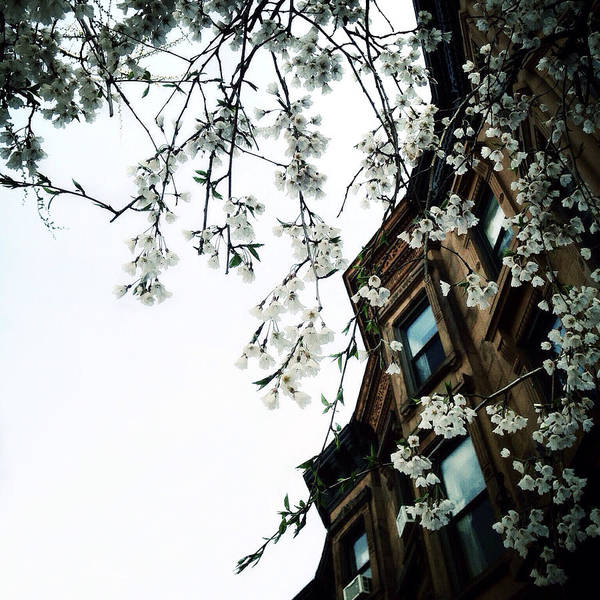 Photograph - Brownstones And Blossoms by Natasha Marco