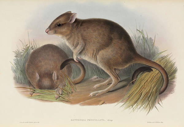 1863 Photograph - Brush-tailed Bettong by Natural History Museum, London/science Photo Library