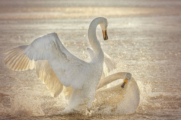 Swan Photograph - Brutal Swan Fight by Libby Zhang