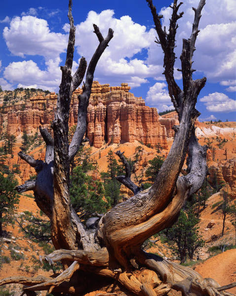 Photograph - Bryce Bristlecone by Ray Mathis