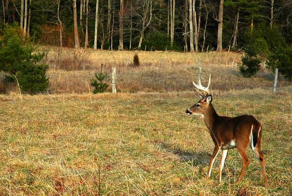 Buck In Cades Cove Art Print by John Saunders