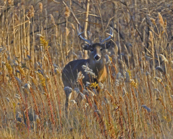 Painting - Buck In The Brush by Dean Wittle