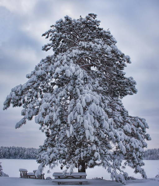 Photograph - Buck Lake Flocked Pine by Dale Kauzlaric