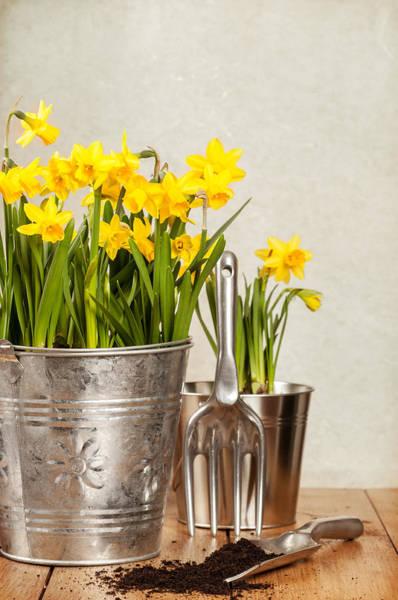 Trowel Photograph - Buckets Of Daffodils by Amanda Elwell