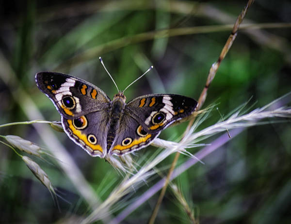 Photograph - Buckeye Beauty by Barry Jones