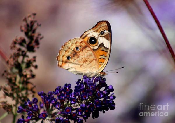 Photograph - Buckeye Butterfly On Butterfly Bush by Karen Adams