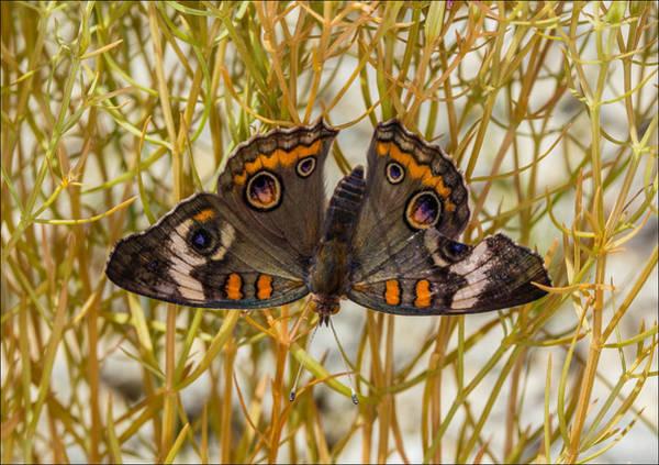 Photograph - Buckeye Butterfly On Mountain Pink by Steven Schwartzman