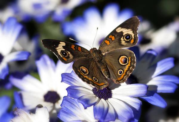 Buckeye Butterfly Wall Art - Photograph - Buckeye Butterfly On Purple Daisy  by Saija  Lehtonen