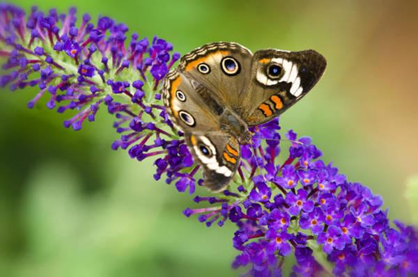 Buckeye Butterfly Wall Art - Photograph - Buckeye Butterfly On Purple Flowers by Saija  Lehtonen