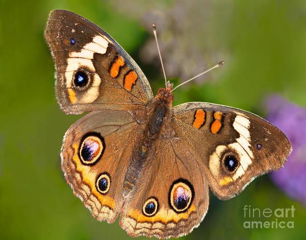 Buckeye Butterfly Wall Art - Photograph - Buckeye Butterfly by Regina Geoghan