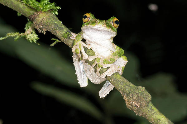 Ecuador Photograph - Buckley S Slender-legged Treefrog by Dr Morley Read
