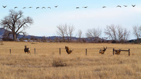 Photograph - Bucks And Geese by Jim Garrison