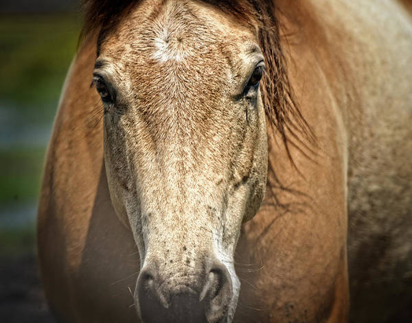 Photograph - Buckskin Stallion by Maggy Marsh