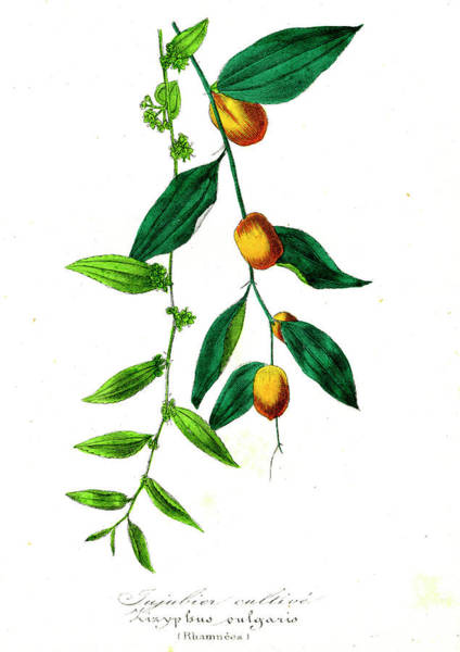 1855 Photograph - Buckthorn (zizyphus Vulgaris) by Collection Abecasis/science Photo Library