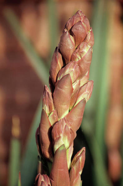 Yucca Plants Photograph - Buds Of Adam's Needle by Chris Dawe/science Photo Library
