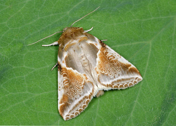 Entomological Photograph - Buff Arches Moth by Nigel Downer