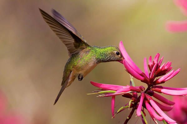 Hidalgo Photograph - Buff-bellied Hummingbird (amazilia by Larry Ditto