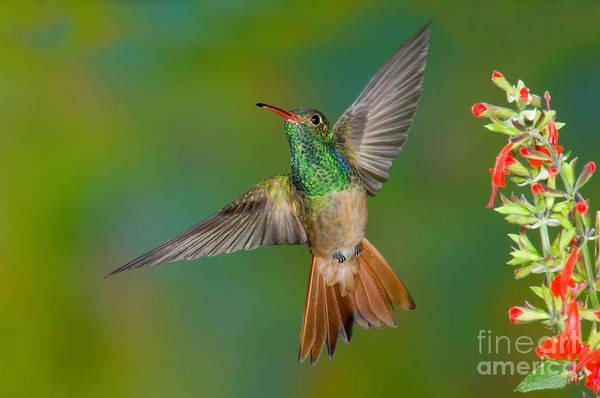 Photograph - Buff-bellied Hummingbird by Anthony Mercieca