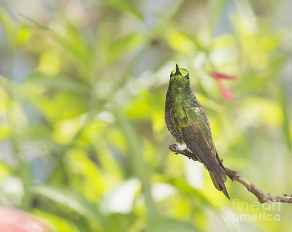 Photograph - Buff-tailed Coronet Hummingbird by Dan Suzio