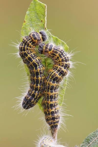 Arthropods Wall Art - Photograph - Buff-tip Caterpillars by Heath Mcdonald