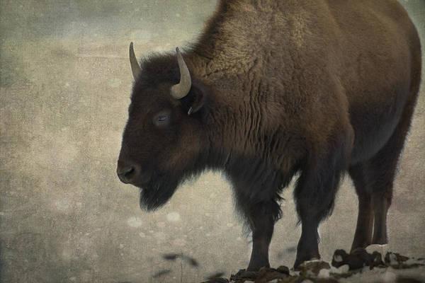Bison Photograph - Buffalo by Juli Scalzi