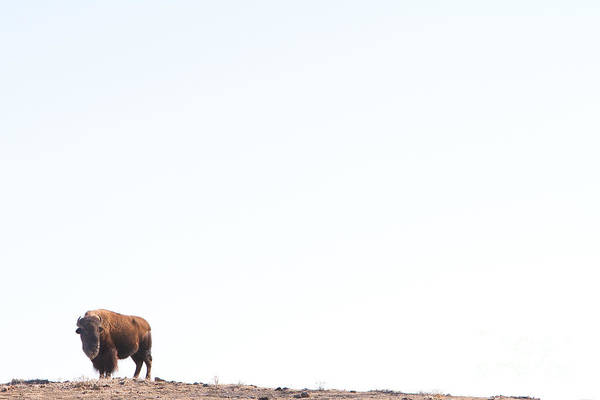 Bison Photograph - Buffalo Country by James BO Insogna