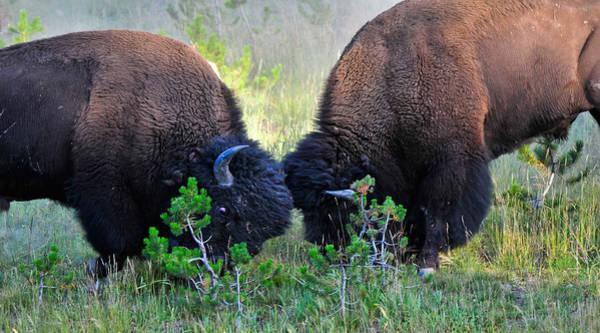 Photograph - Yellowstone Buffalo Fight by Ginger Wakem