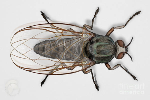 Painting - Buffalo Gnat Or Black Fly - Simuliidae by Urft Valley Art