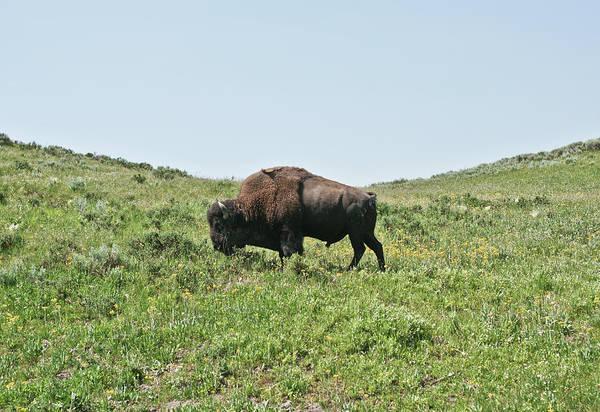 Grazing Photograph - Buffalo Grazing by Jhillphotography