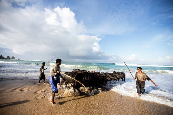 Working Photograph - Buffalo Herders On The Beach In Sumba by James Morgan / Robertharding