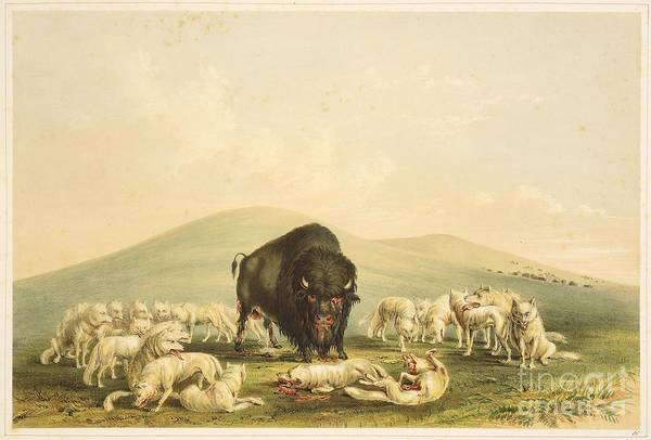 Native American Culture Painting - Buffalo Hunt White Wolves Attacking Buffalo Bull by Celestial Images