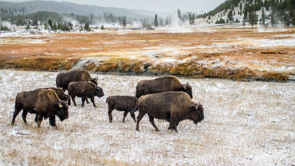 Photograph - Buffalo In Yellowstone by Pierre Leclerc Photography
