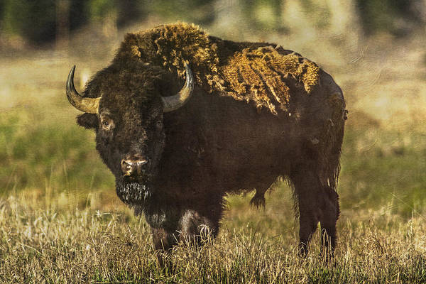 Photograph - Buffalo by Lou  Novick