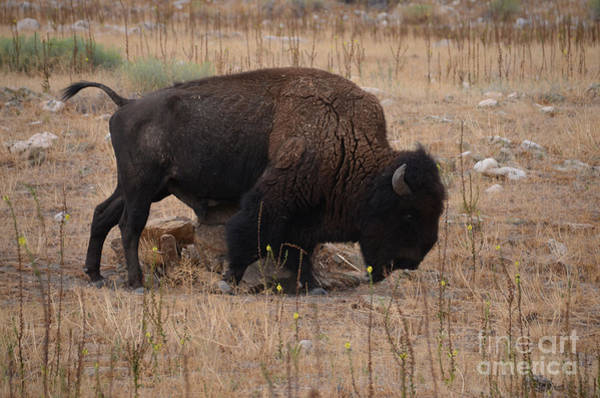 Photograph - Buffalo Of Antelope Island Iv by Donna Greene