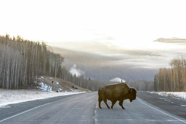 Urban Wildlife Photograph - Buffalo On The Alaska Highway by Ben Girardi