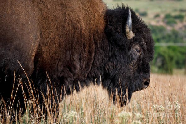 Photograph - Buffalo Portrait by Richard Smith