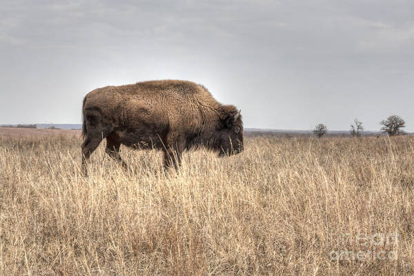 Photograph - Buffalo Profile by David Cutts