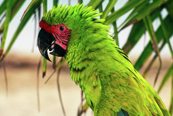 Wall Art - Photograph - Buffons Macaw, Portrait Profile by Animal Images