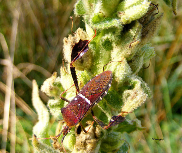 Photograph - Bug On Stalk Of The Wooly Mullein by Duane McCullough