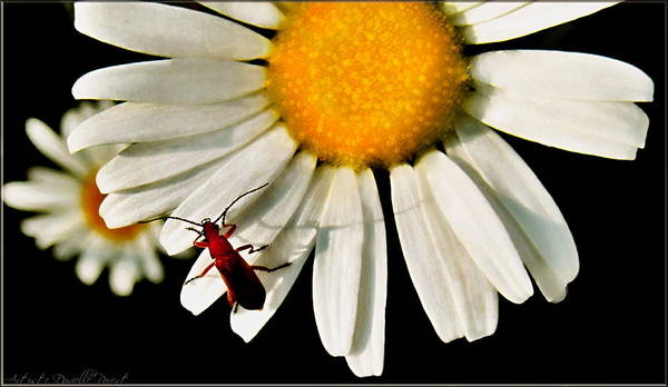 Photograph - Bug Sitting On A Daisy  by Danielle  Parent