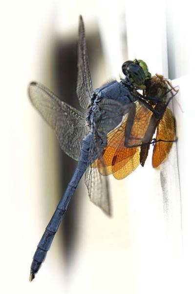 Blue Dragonfly Photograph - Bugzilla by Darlene Kwiatkowski
