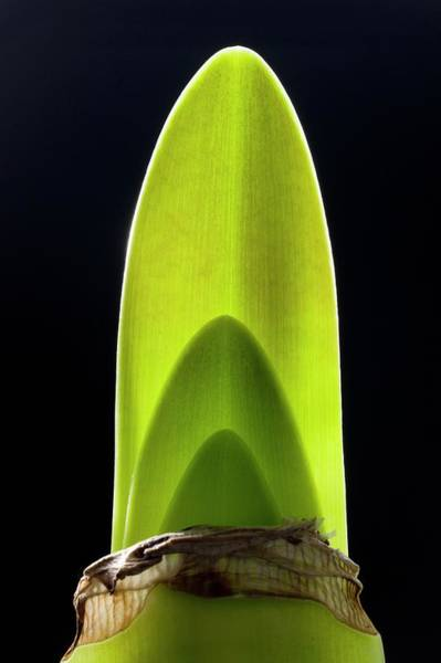 Hybrid Photograph - Bulb Of Hippeastrum Developing Leaves by Dr Jeremy Burgess