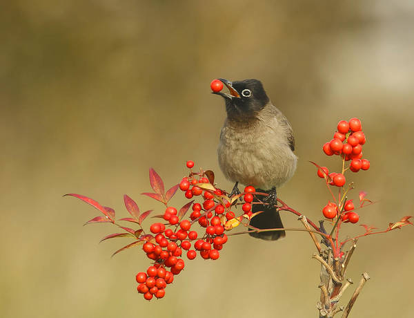 Beaks Photograph - Bulbul With Nandina by Shlomo Waldmann