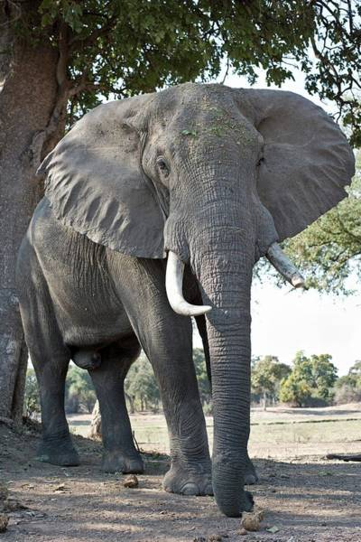 Bull African Elephant Art Print by Tony Camacho