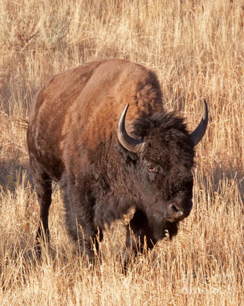 Photograph - Bull Bison Running In Yellowstone National Park by Fred Stearns
