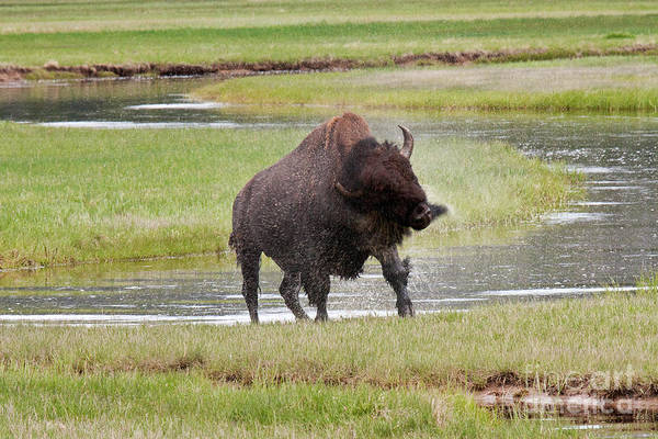 Photograph - Bull Bison Shaking In Yellowstone National Park by Fred Stearns
